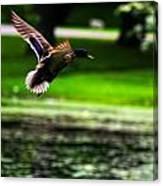 Mallard   Taking Flight Canvas Print