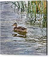 Mallard By The Reeds Canvas Print