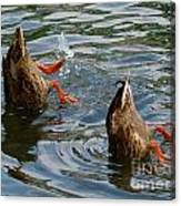Mallard Duck Butts Canvas Print