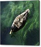 Mallard Duck On Green Pool Canvas Print