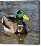 Mallard Duck Watches Canvas Print