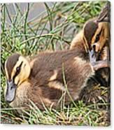 Mallard Ducklings And Mom Canvas Print