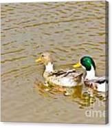 Mallard Ducks Pair Canvas Print