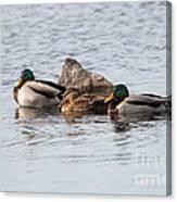 Mallard Ducks Sleeping Canvas Print