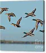 Mallard Flock Flying Canvas Print