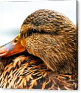 Mallard Hen Close Up Canvas Print