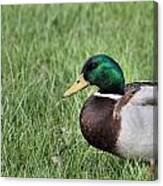 Mallard In The Grass Canvas Print
