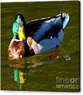 Mallard Male Duck Canvas Print