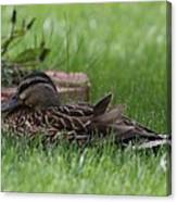 Mallard Nesting Canvas Print