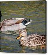 Mallard Pair Canvas Print