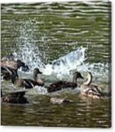 Mallard Water Party 2 Canvas Print
