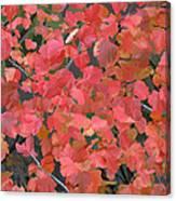 Mallow Ninebark Fall Canvas Print