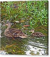 Mama Duck And Baby Canvas Print