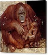 Mama N Baby Orangutan - 54 Canvas Print