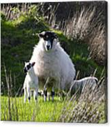 Mama Sheep And Her Two Lambs Canvas Print