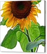 Mammoth Sunflower Canvas Print