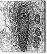 Manchette In Hamster Spermatid Tem Canvas Print