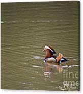 Mandarin Duck 20130507_47 Canvas Print
