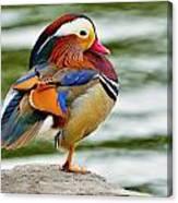 Mandarin Duck Posing Canvas Print