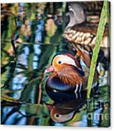 Mandarin Duck Reflections Canvas Print