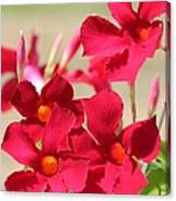 Mandevilla Named Sun Parasol Crimson Canvas Print