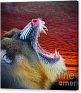 Mandrill Roaring At The End Of A Day  Canvas Print