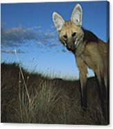 Maned Wolf Hunting At Dusk Brazil Canvas Print