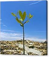Mangrove Seedling On A Beach Canvas Print
