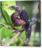 Mangrove Tree Crab Canvas Print