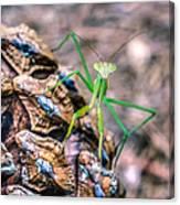 Mantis On A Pine Cone Canvas Print