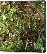Many Orange On Tree Canvas Print