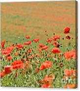 Many Poppies Canvas Print