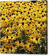 Many Yellow Blooms Canvas Print