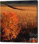 Maple And Cornfield At Dawn Canvas Print