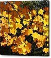 Maple Gold Canvas Print
