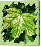 Maple Leaf In The Laurel Canvas Print