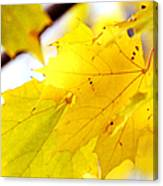 Maple Leaves At Autumn Glory 1 Canvas Print