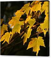 Maple Leaves - B Canvas Print