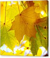 Maple Leaves In Autumn Glory Canvas Print