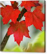 Maple Leaves Show Off Their Autumn Hues Canvas Print