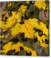 Maple Leaves With Tar Spot Canvas Print
