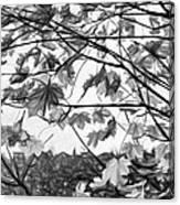 Maple Sunset - Paint Bw Canvas Print