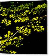 Maples Against Black Canvas Print