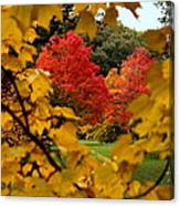 Maples In View Canvas Print