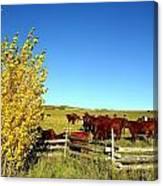 Marabou Cattle Herd Canvas Print