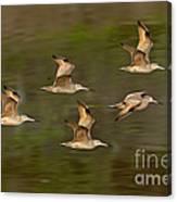 Marbled Godwit Flock Flying Canvas Print