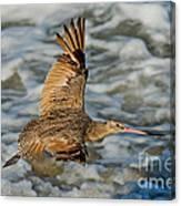 Marbled Godwit Flying Over Surf Canvas Print