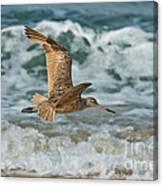 Marbled Godwit Over Surf Canvas Print