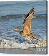 Marbled Godwit Taking Off On Beach Canvas Print