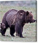 Marching Mama Grizzly And Cub  Canvas Print
